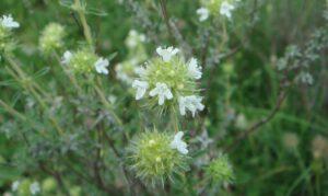 Thymian | Heilpflanzen in Iran